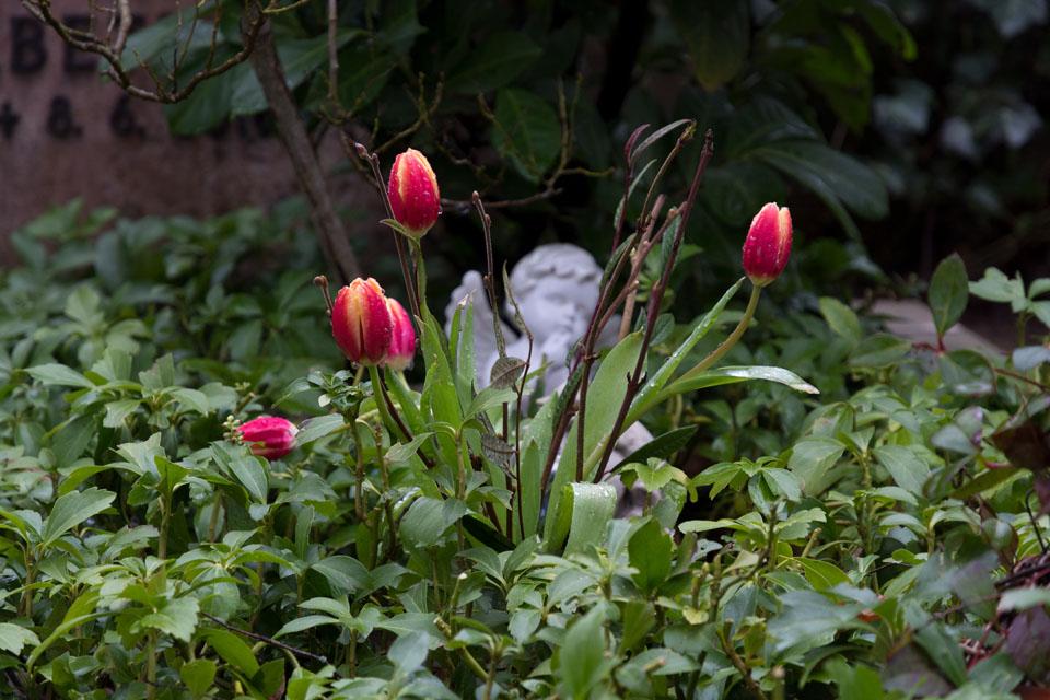 tulpen-7923
